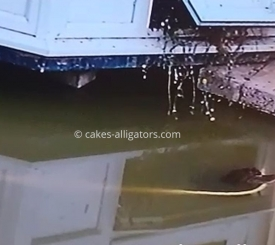 Chinese Alligator Grabs Giant Yellow Snake
