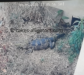 Bonnie the Chinese Alligator that we believe to be gravid