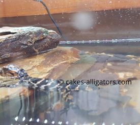 First EVER UK Born Baby Chinese Alligator Baby