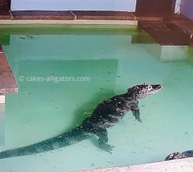Attempting to breed our Chinese Alligators