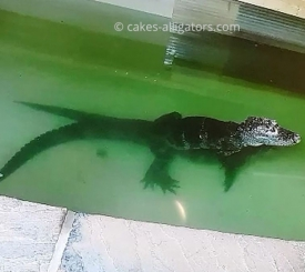 Two of our Chinese Alligators breeding in the water
