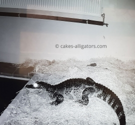 Female Chinese Alligator may be pregnant