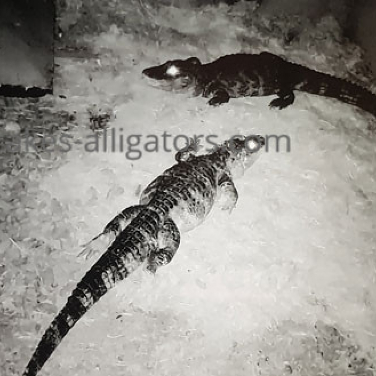 Our Chinese Alligators at Night