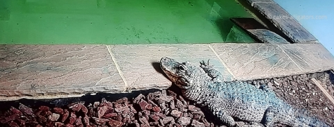 Chinese Alligator by the water